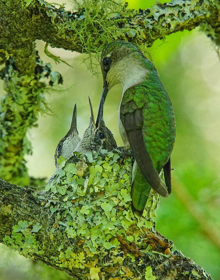 Ruby-throated Hummingbird Nest 007