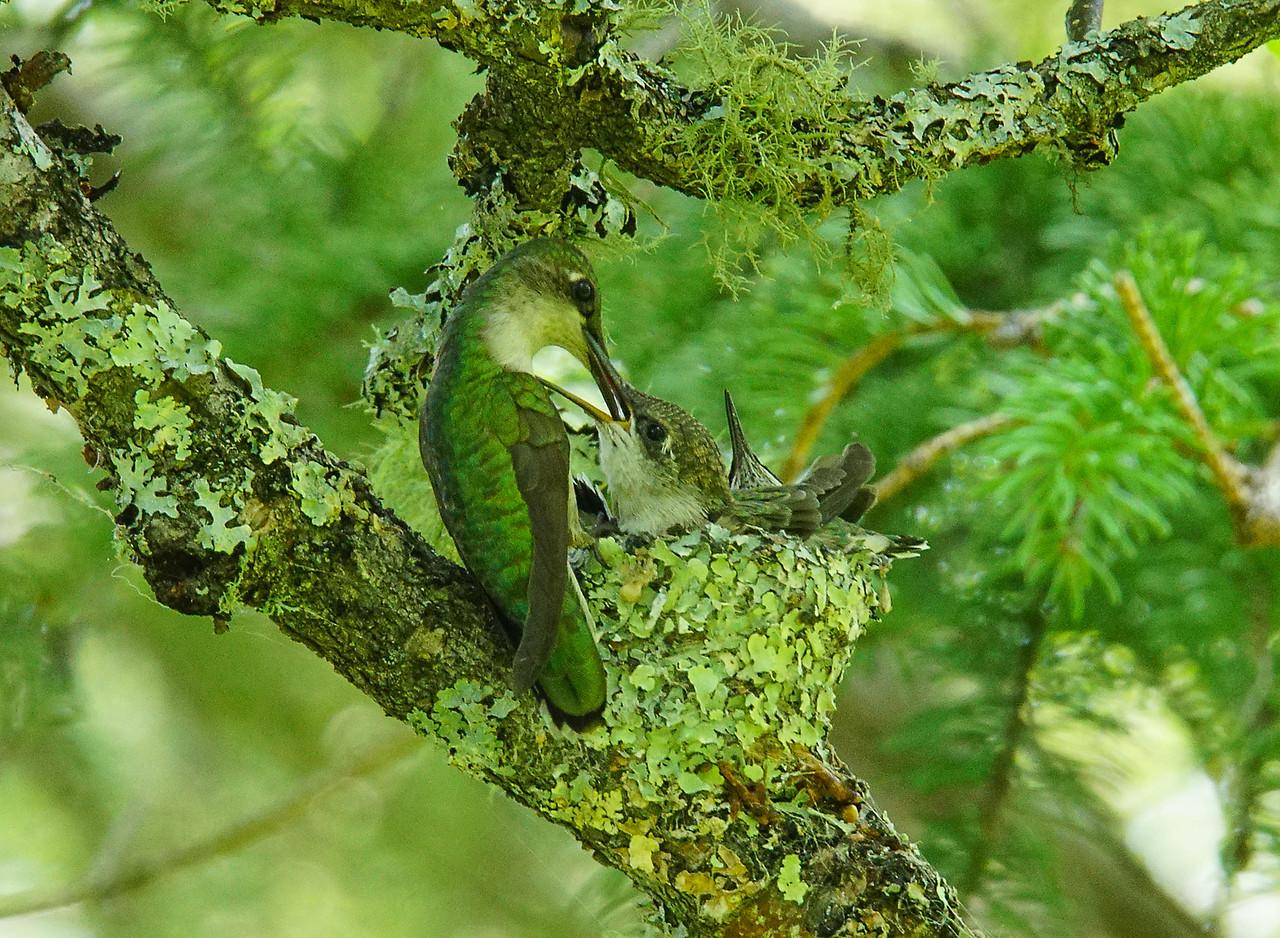 Ruby-throated Hummingbird Nest 005