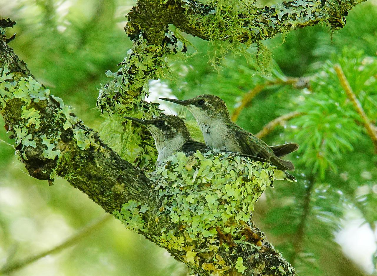 Ruby-throated Hummingbird Nest 009