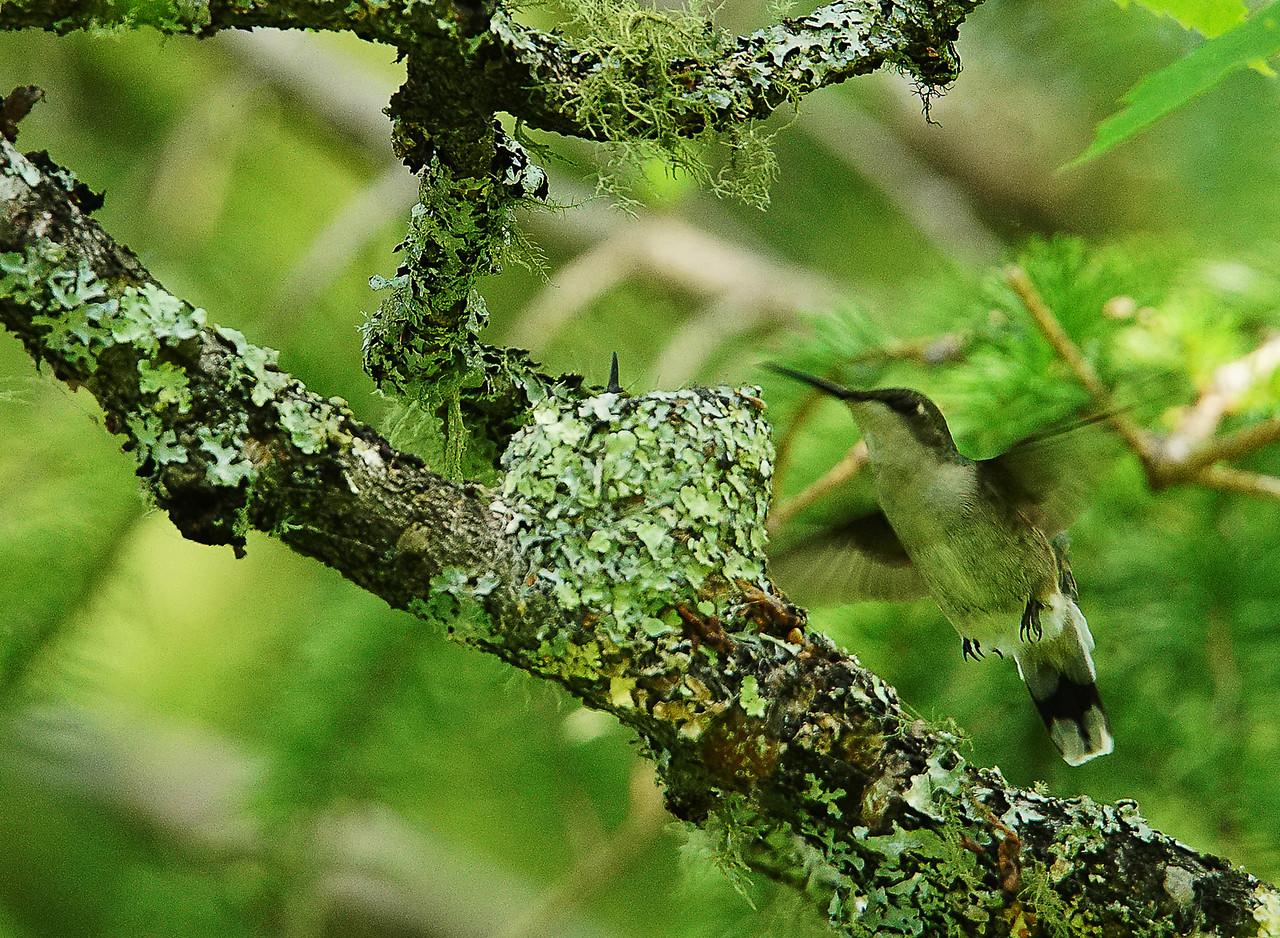 Ruby-throated Hummingbird Nest 002