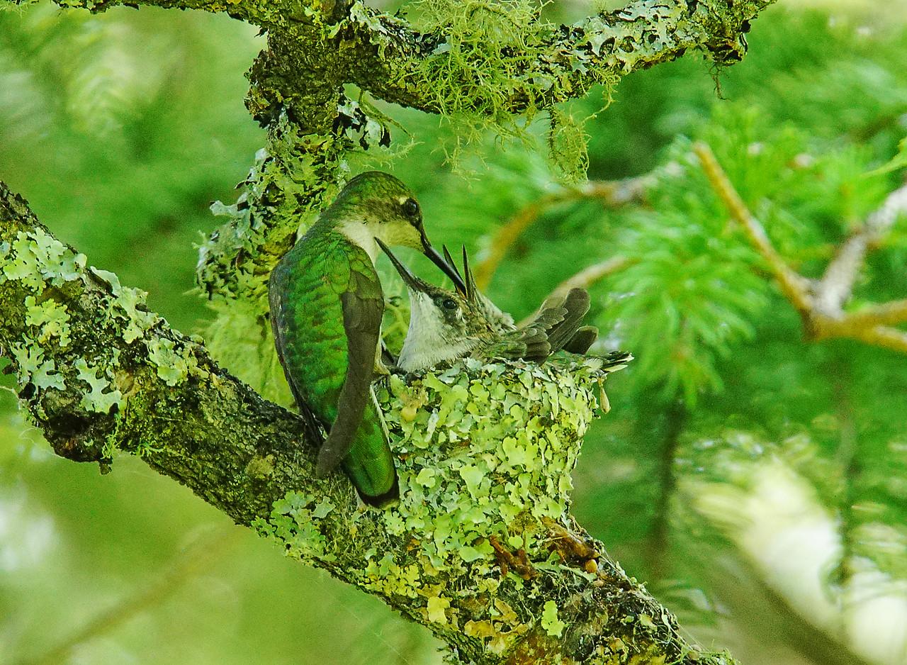 Ruby-throated Hummingbird Nest 006