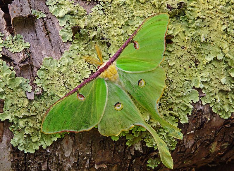 Luna Moth 001