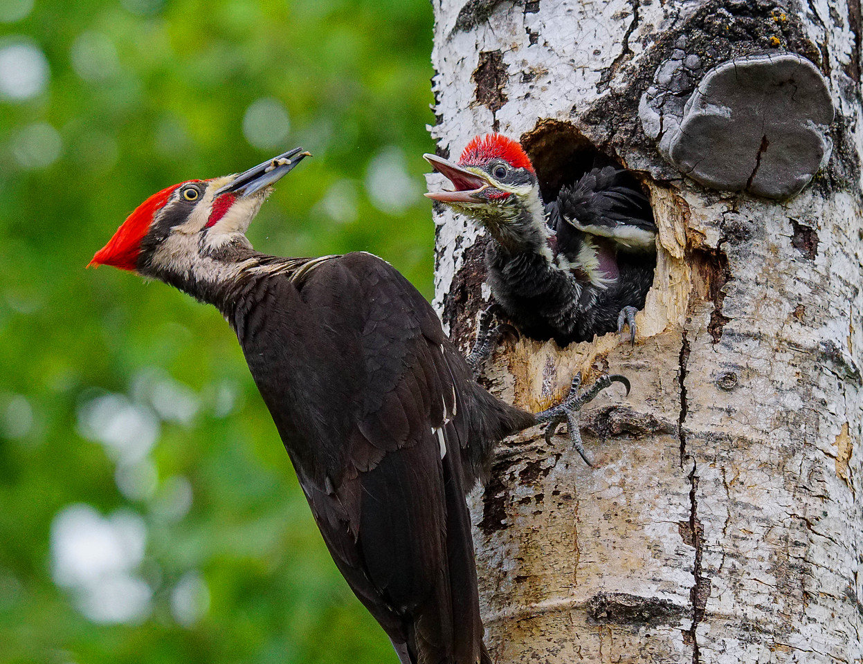 Pileated Family 001