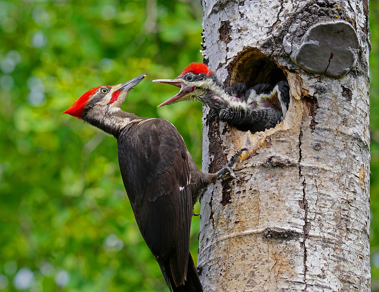 Pileated Family 004