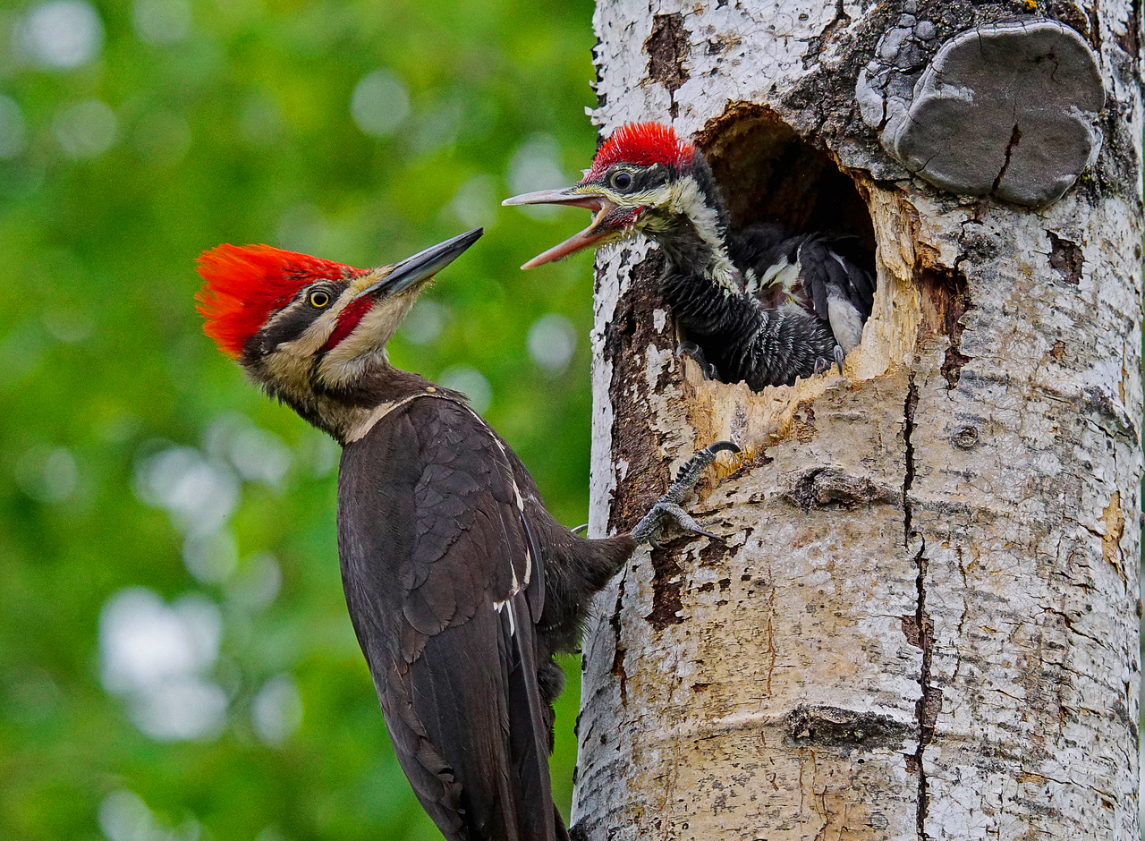 Pileated Family 003