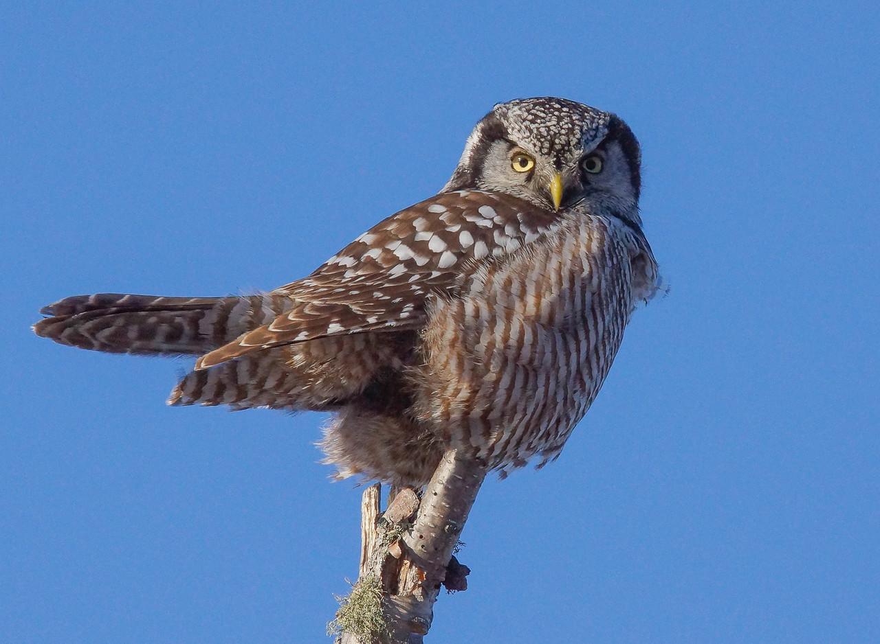 Northern Hawk Owl 001