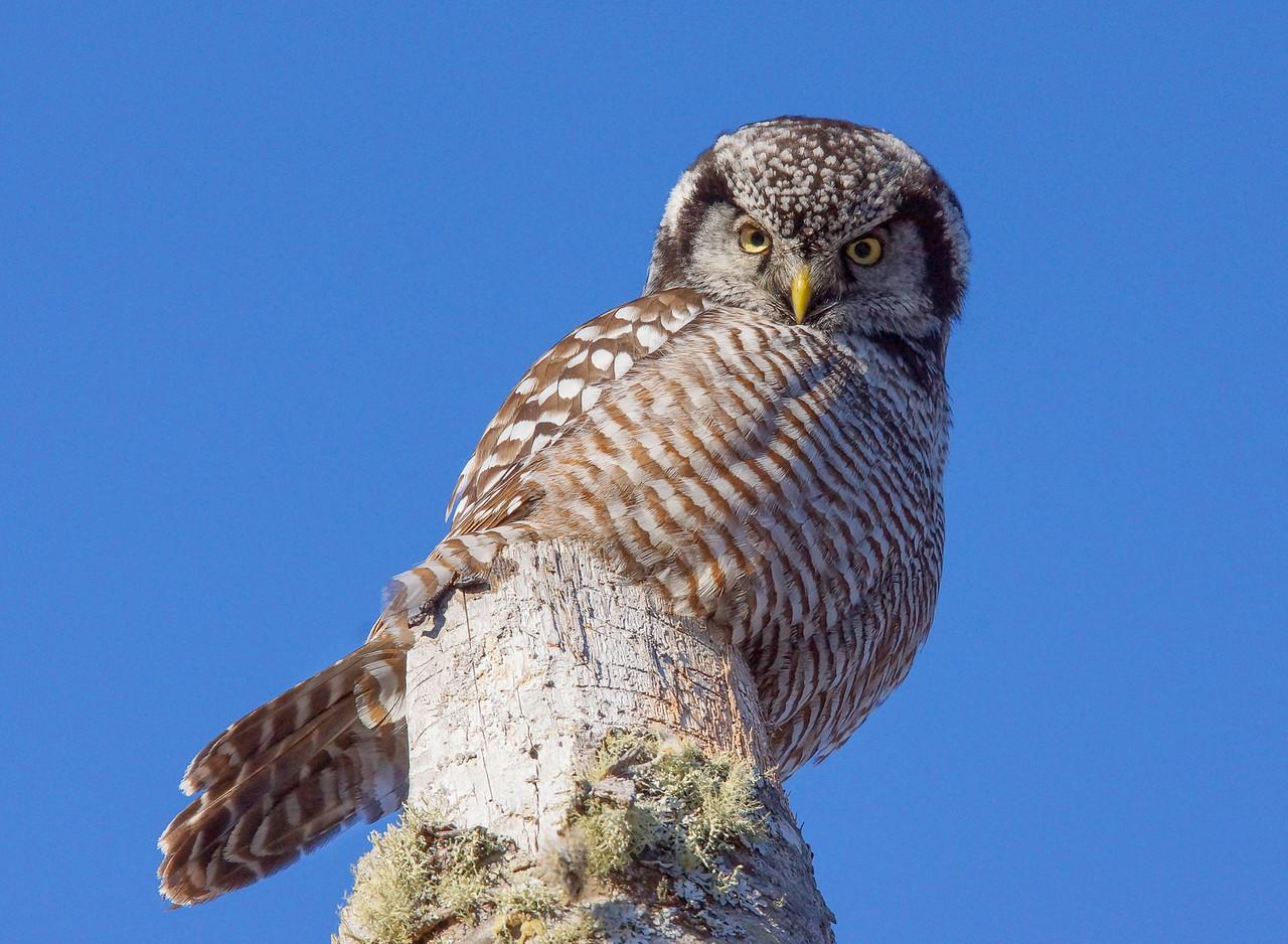 Northern Hawk Owl 002
