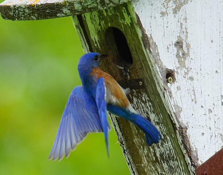 Bluebirds 003