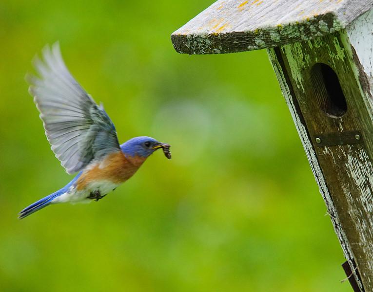 Bluebirds 001
