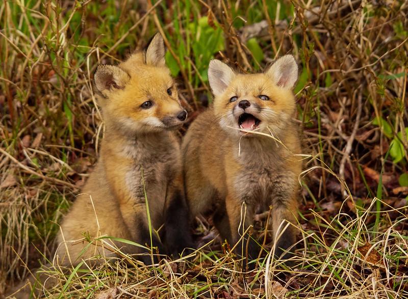 Red Fox Kits 005