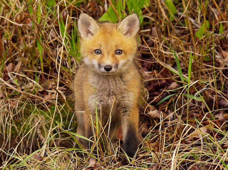 Red Fox Kits 008