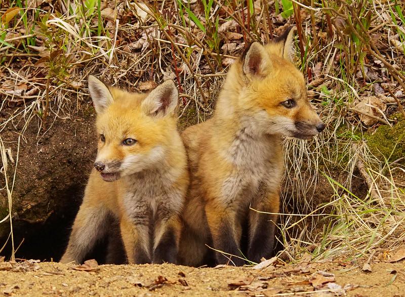 Red Fox Kits 006