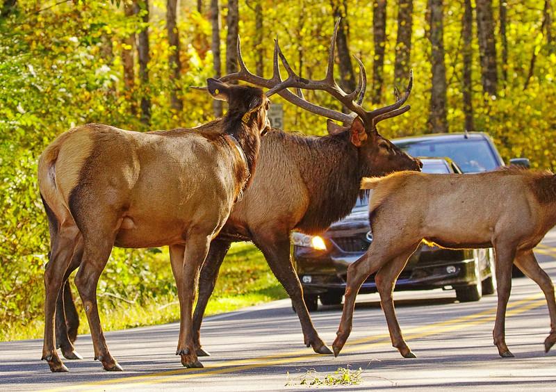 Great Smoky Mountains Elk 011