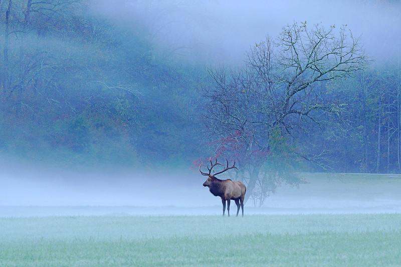 Great Smoky Mountains Elk 002