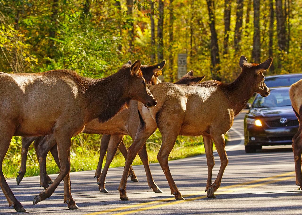 Great Smoky Mountains Elk 010