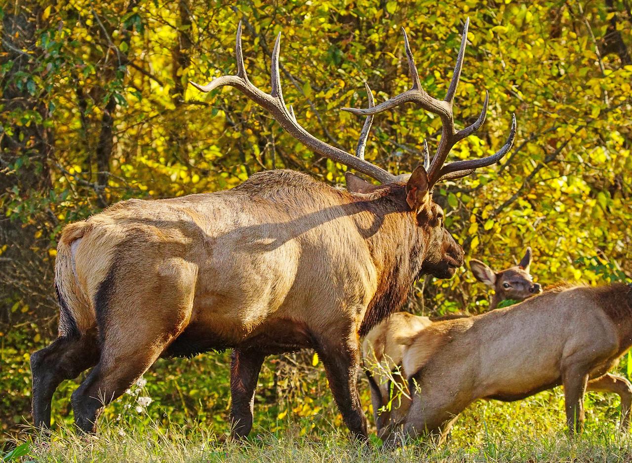 Great Smoky Mountains Elk 009