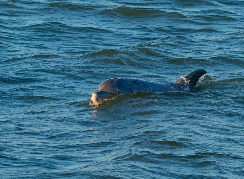 Bottlenose Dolphin 001