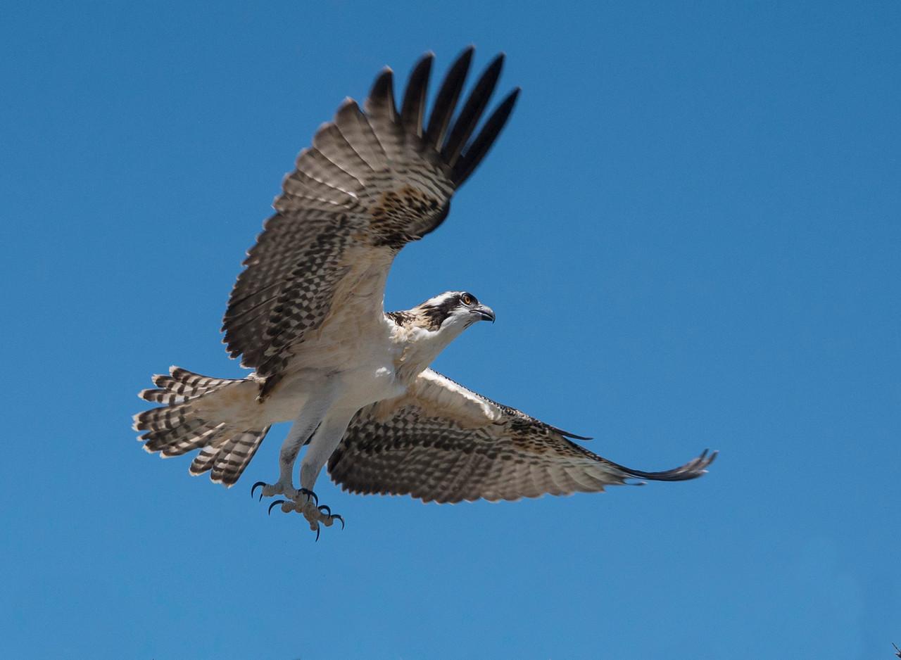 Osprey 002