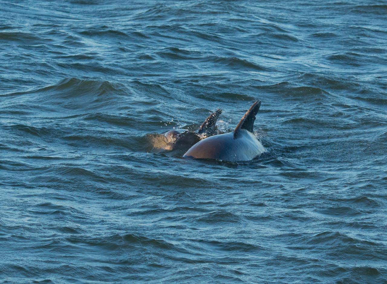 Bottlenose Dolphin 003