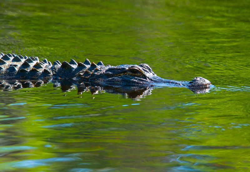Waculla Springs State Park Alligator