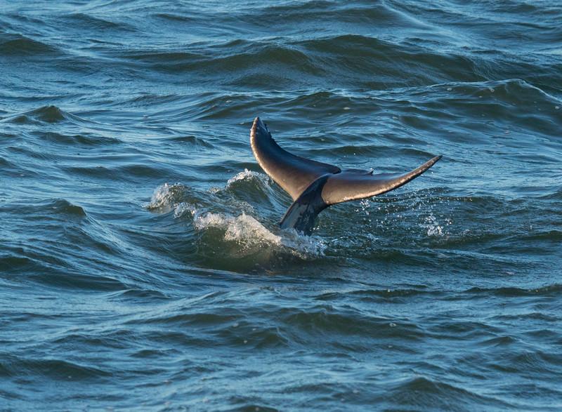 Bottlenose Dolphin 002