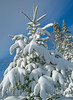 Snow Covered Spruce