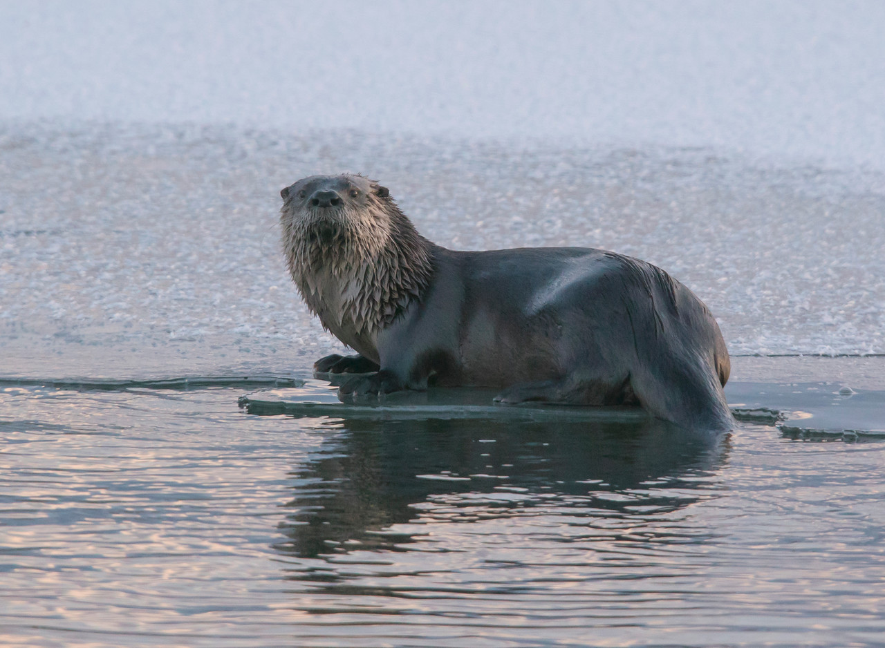 River Otters 009