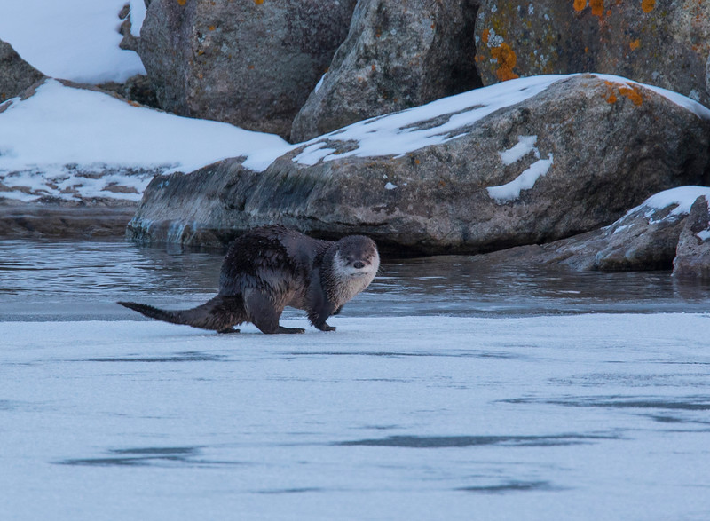 River Otters 010