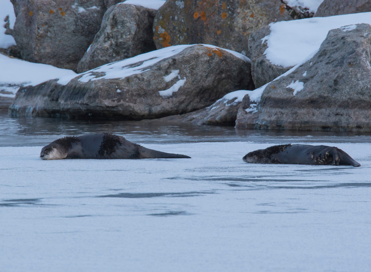 River Otters 005