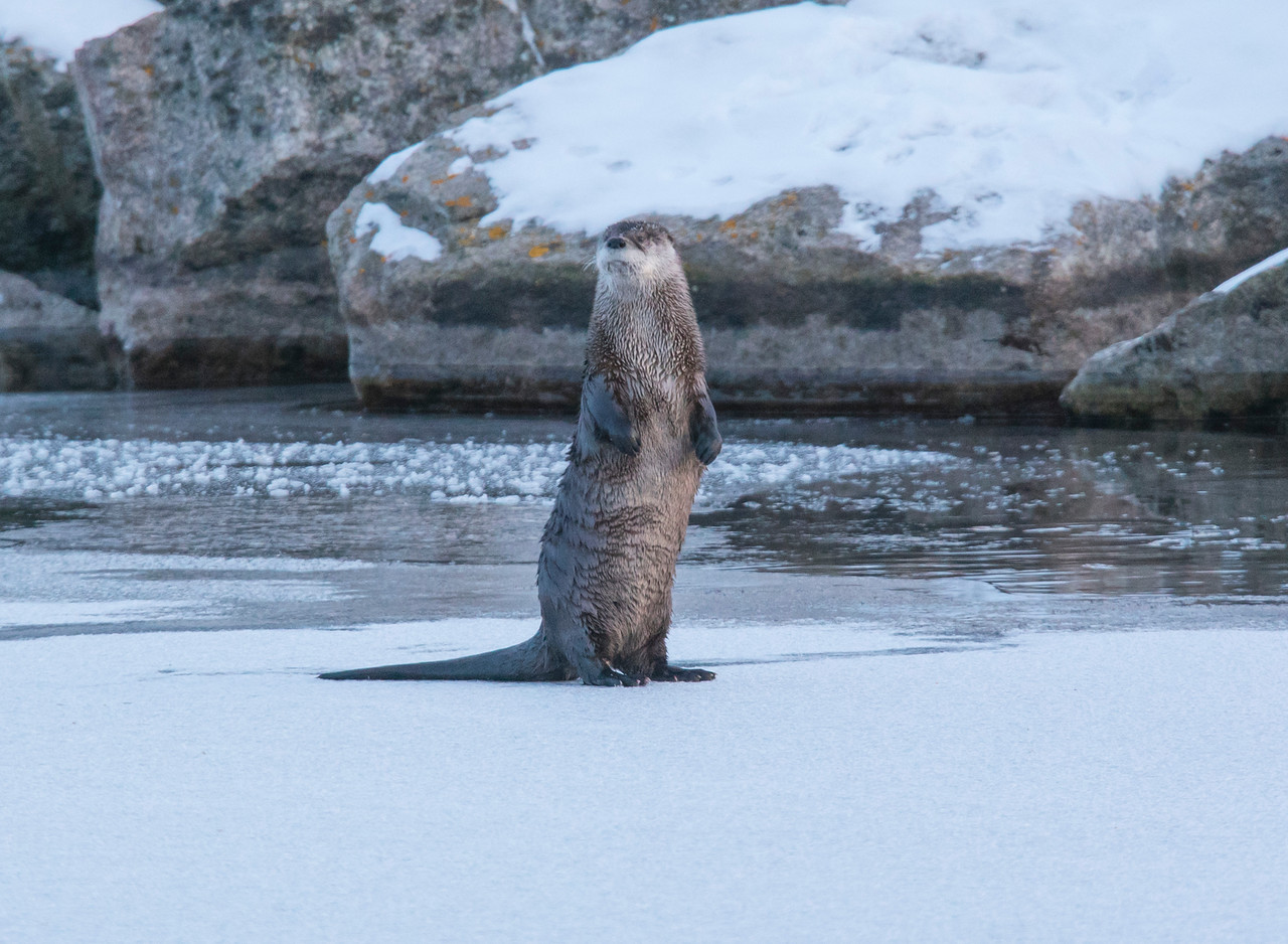 River Otters 001