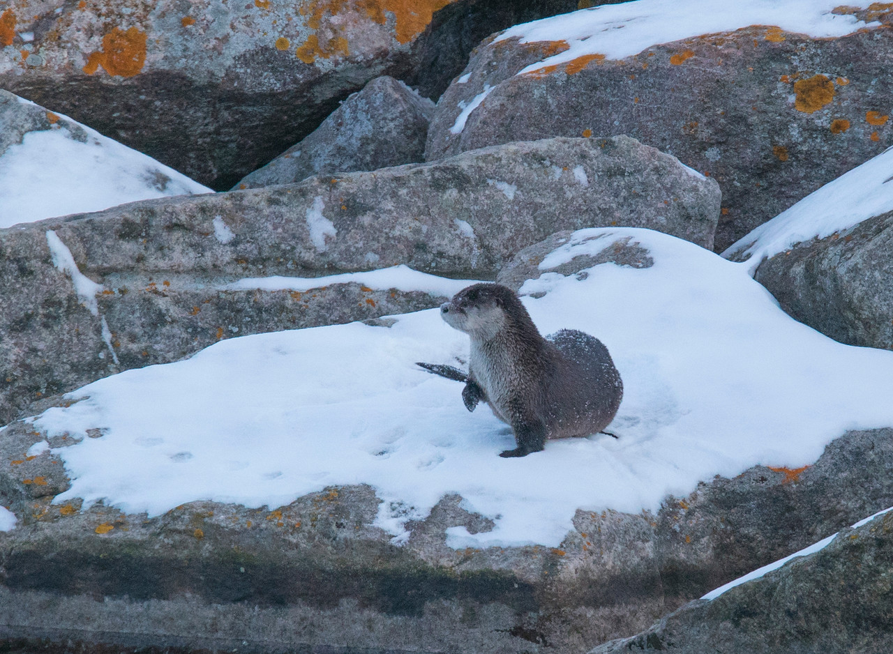 River Otters 008