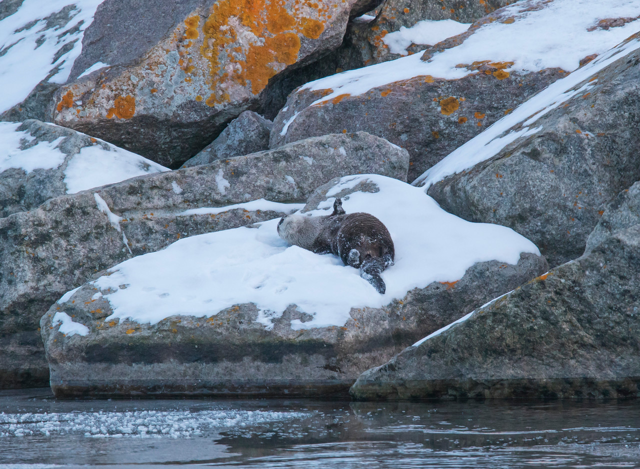 River Otters 007
