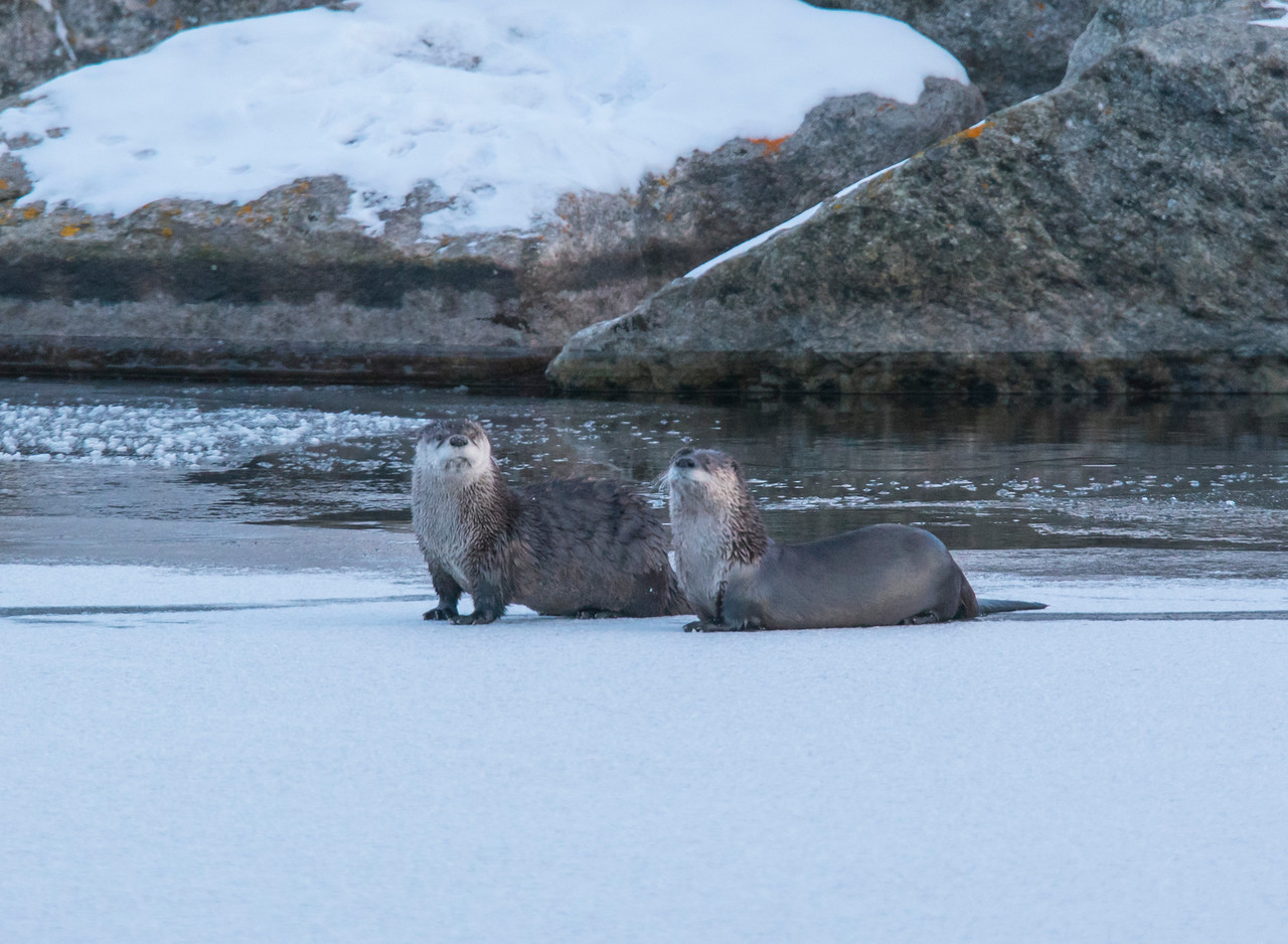 River Otters 003