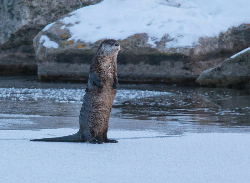 River Otters 002