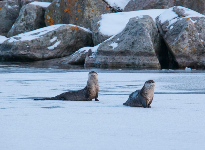 River Otters 004