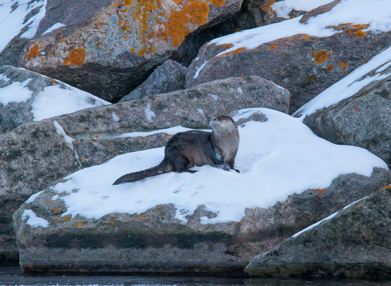 River Otters 006