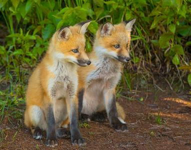 Fox Kits 2