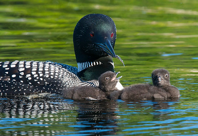 Loon Family Saganaga Lake 2