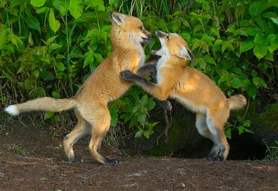 Fox Kits 3