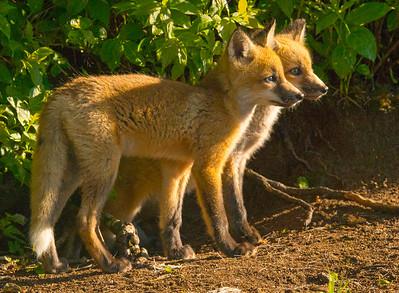 Fox Kits 1