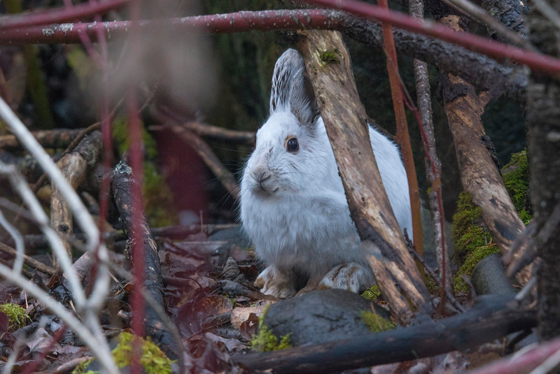 Snowshoe Hare 002