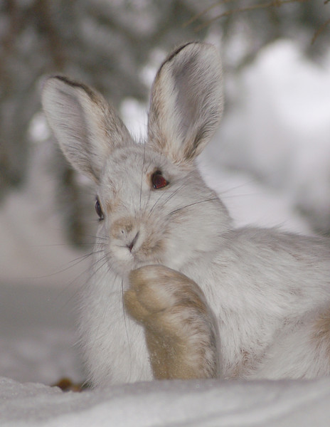 Snowshoe Hare 004