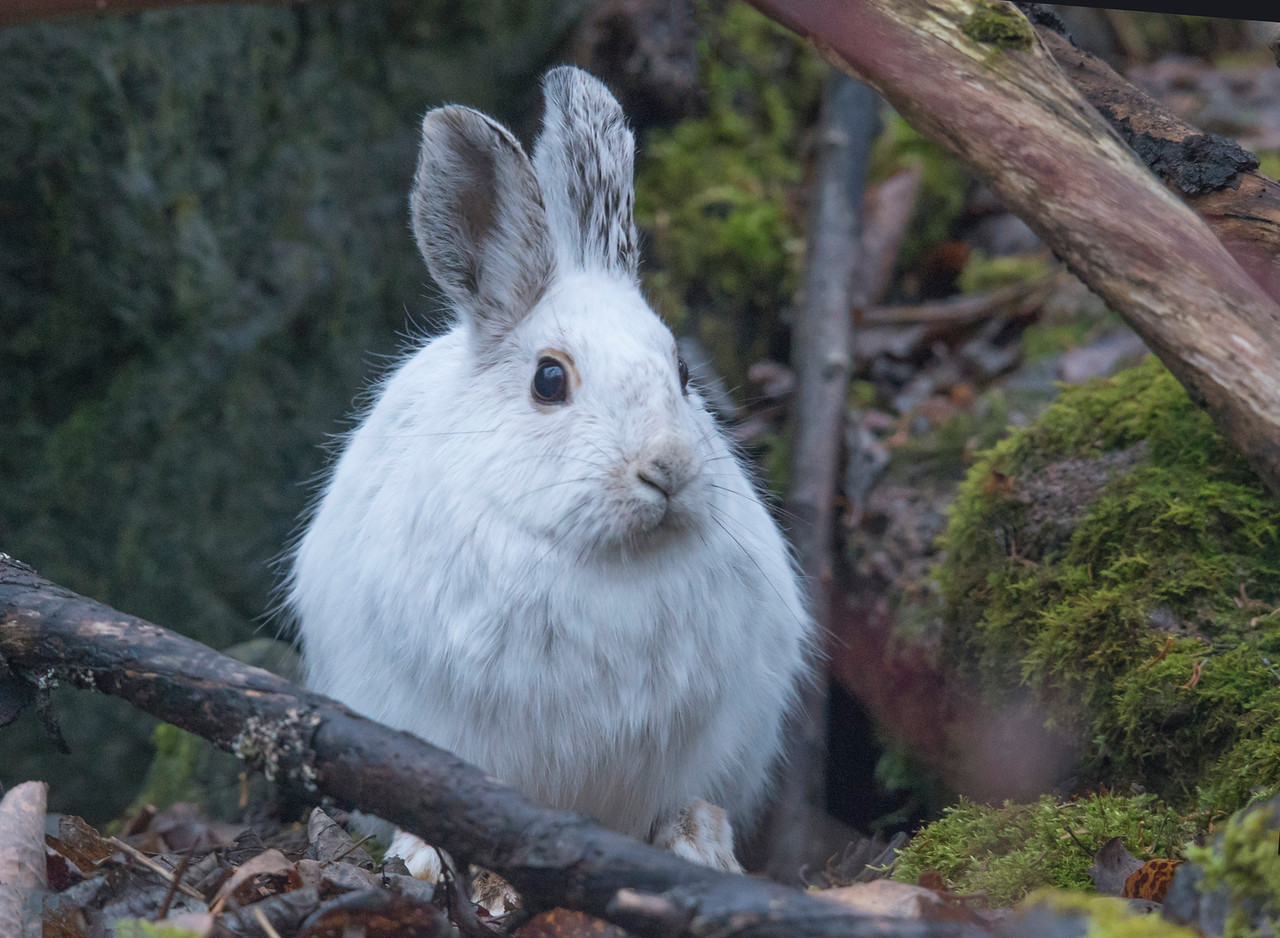 Snowshoe Hare 003