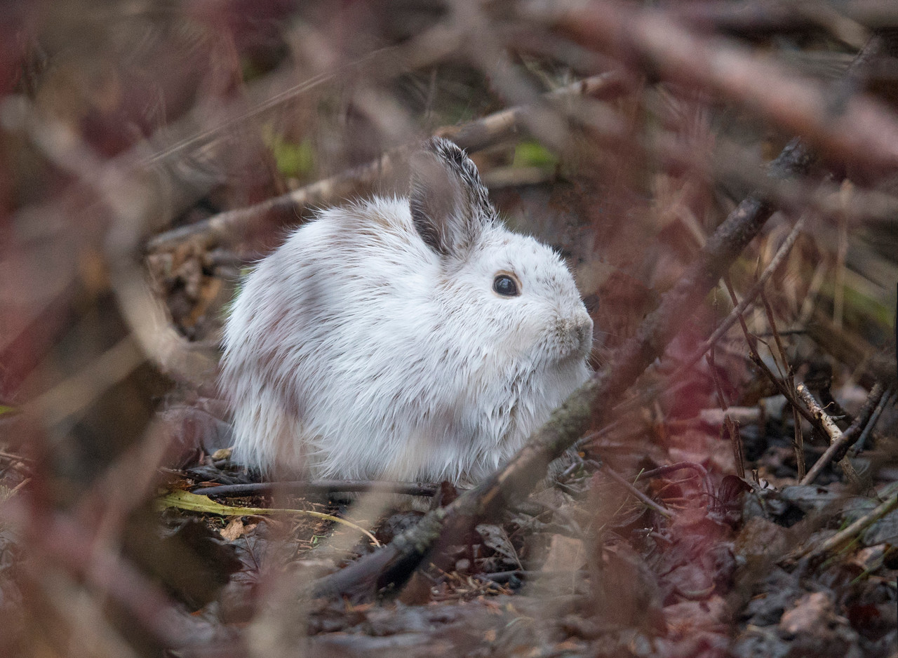Snowshoe Hare 001