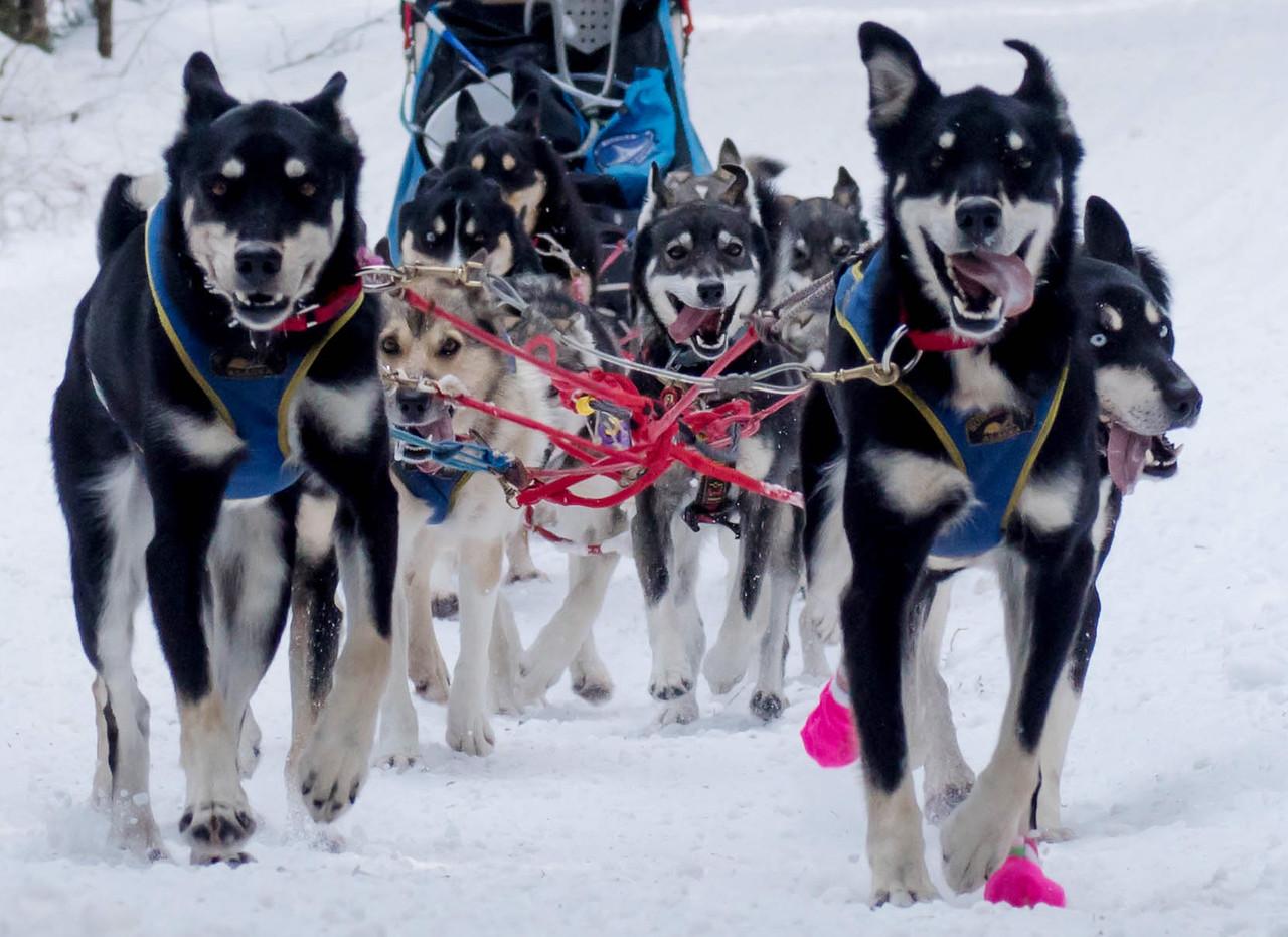 2016 John Beargrease Sled Dog Marathon 005