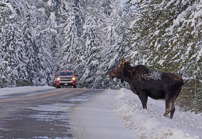 Moose 001
