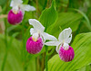 Pink & White Showy Lady's-Slipper 001