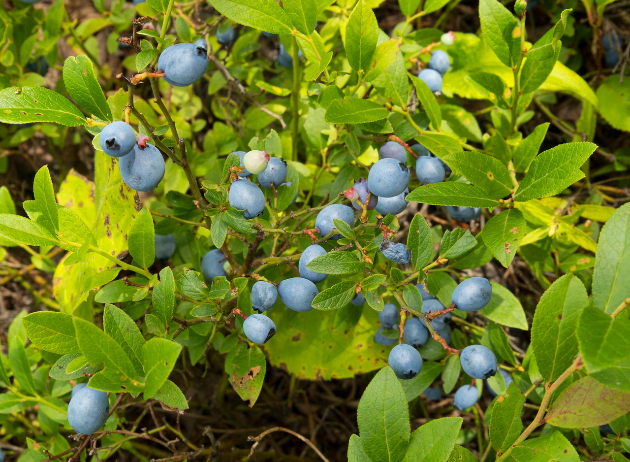 Blueberry Picking 002