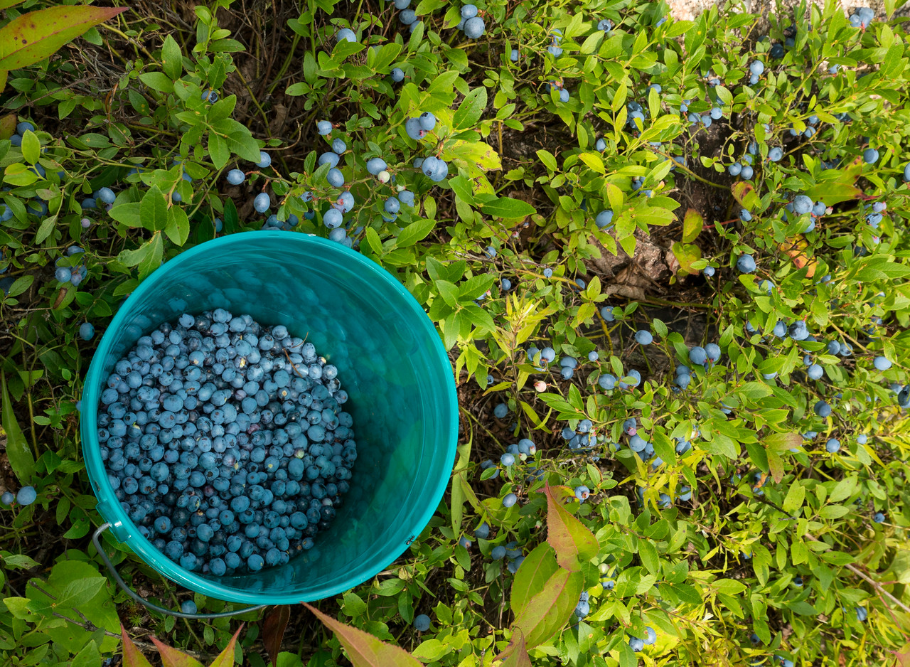 Blueberry Picking 001