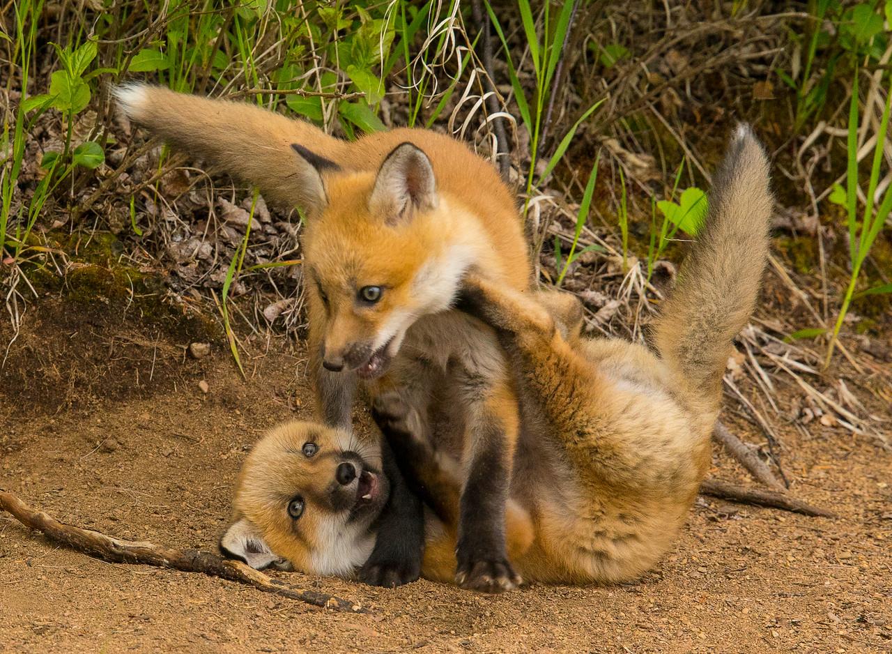 Fox Kits 003